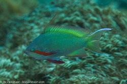 BD-161026-Pantar-3079-Pseudanthias-huchtii-(Bleeker.-1857)-[Red-cheeked-fairy-basslet].jpg